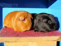 Zion and Felineas - Guinea Pigs belonging to Barbara
